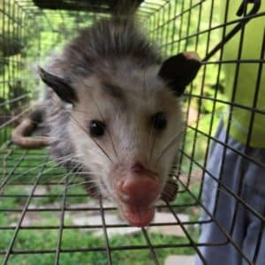 possum trapping