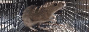 rat trapping - rat control header