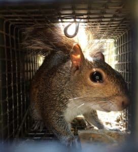 squirrel trapping