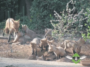 fox family trapping