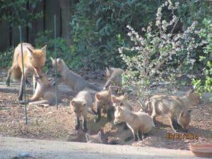 fox removal - fox control