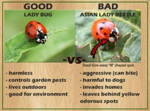 ladybug comparison