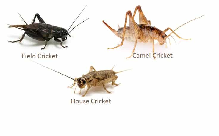 Affordable Cricket Control