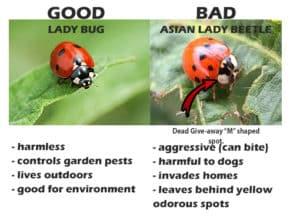 lady bug versus lady beetle