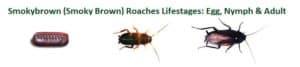 smokybrown roaches
