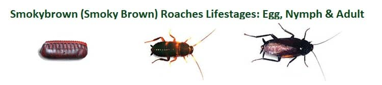smokybrown roaches