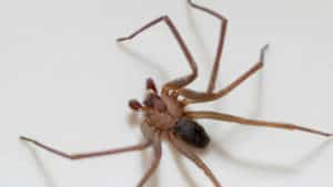 brown recluse spider control