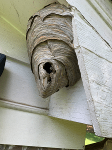 bald faced hornet hive