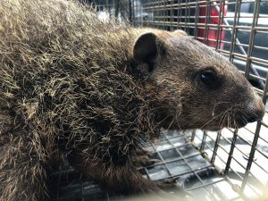 A groundhog/woodchuck in a live cage trap