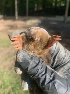 mole trapped in georgia
