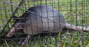 Armadillo in cage trap - Southern Pest Management