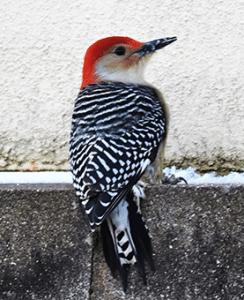 woodpecker control